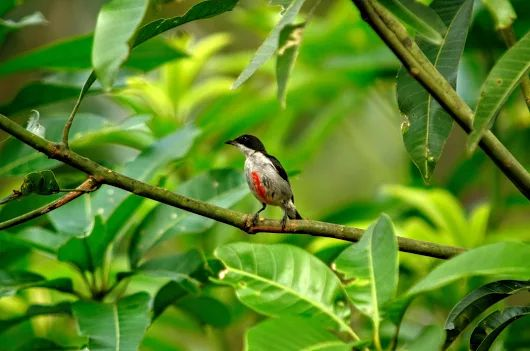 One of the other guests to my home is the Red-Keeled Flowerpecker (haematostictum).
