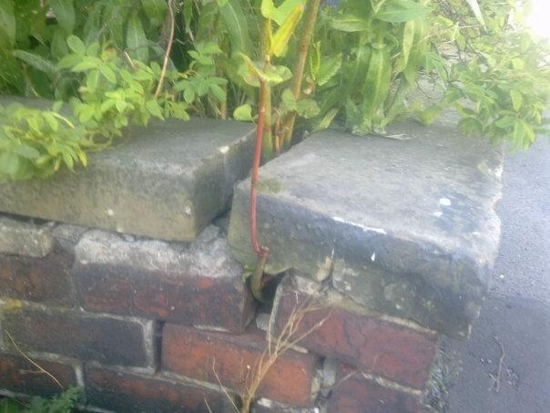 Japanese knotweed destroying a brick wall
