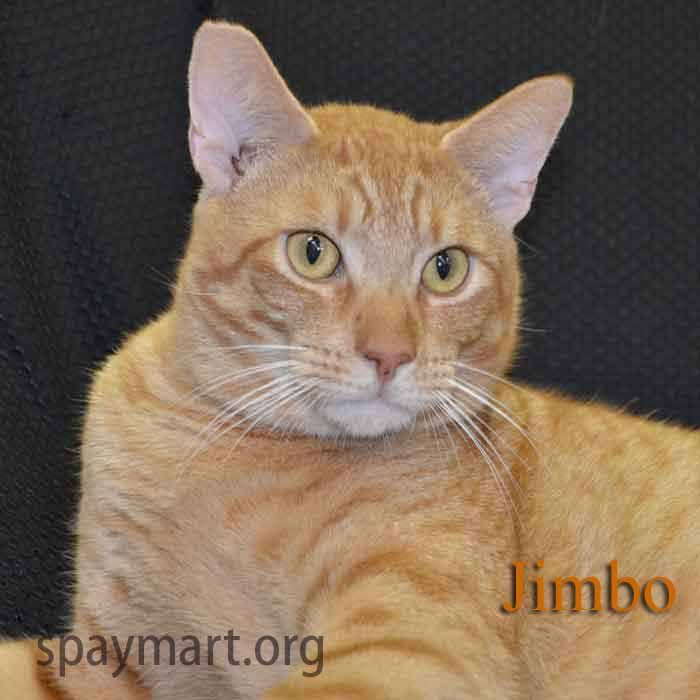 Jimbo is gorgeous, active and super sweet.  Looking for a 1 cat home