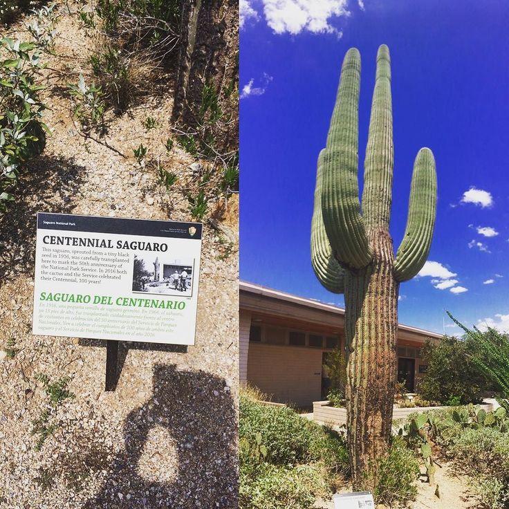 Centennial Saguaro \ a százéves Saguaro kaktusz a Saguaro Nemzeti Parkban . . . #tucson #saguaronationalpark #arizona #usa #fivesneakers #travel #memories #saguaro #cactus #kaktusz #travelblog #travelblogger #traveling #travelling #traveller #travelgram #blog #instapic #instagood #instaphoto #instadaily #instatravel #globetrotter #iphonephotography #amerika#wecollectmemories