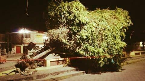 La magnolia del barrio de San Antonio en Amozoc, víctima de los vientos huracanados de ayer 18 de mayo de 2017. Muchos años vivió como el único árbol presente en el parque de San Antonio; una magno…