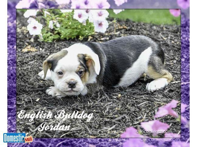 Jordan Male English Bulldog Mix Hi Meet Jordan A Very Cute And