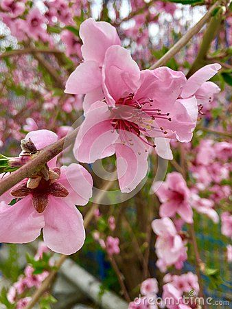 A natural pink flower from a peach tree