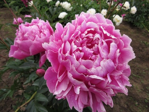 Dr. Alexander Fleming Peony - great scent - good color - tall and floppy