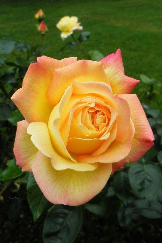 Peachy yellow rose