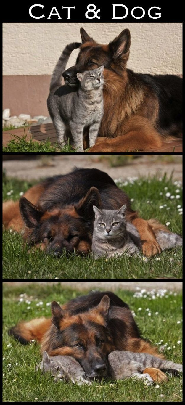 German Shepherd and cat.