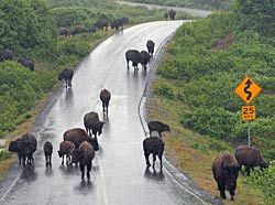 Bison roam freely on the road near Fossil Beach, Kodiak