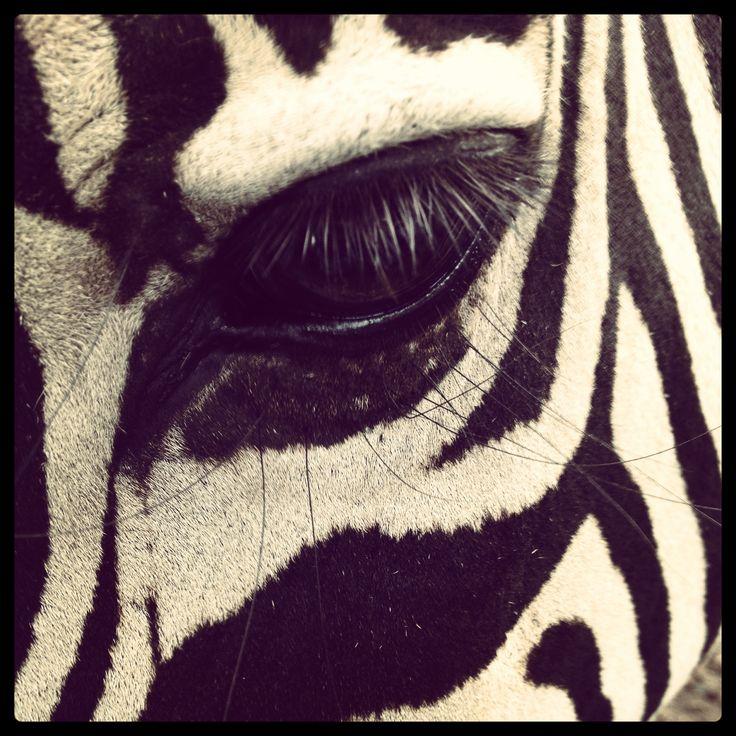 Zebra. Zoológico de Pereira