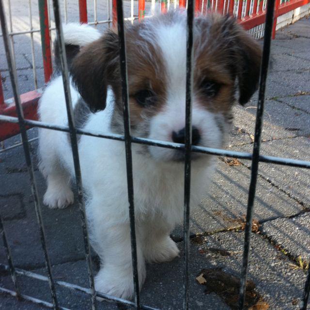Sausage Dogs For Sale Scotland