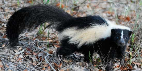 Getting Rid of a Skunk Smell on You, Your Clothes and Your Pets.