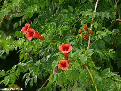 SC native plant Campsis radicans Trumpet vine