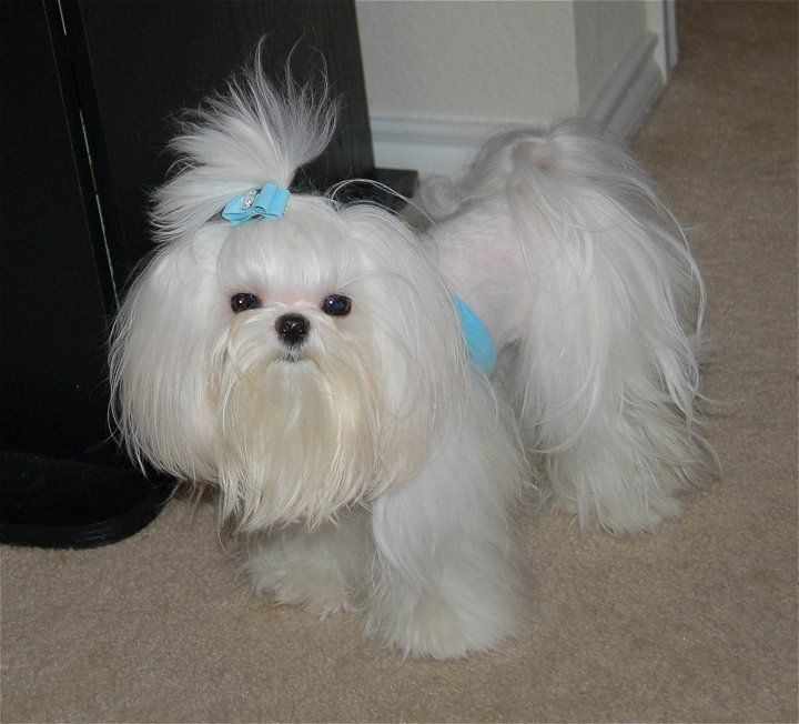 maltese puppy cut pictures 1000 images about maltese cuts on pinterest 4067