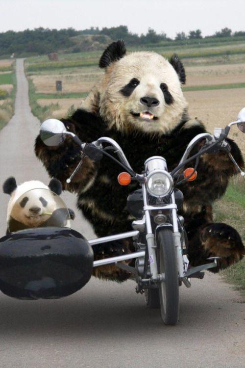 panda bears motorcycle riding