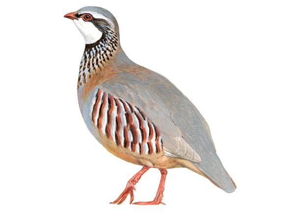 Perdiz roja   SEO/BirdLife