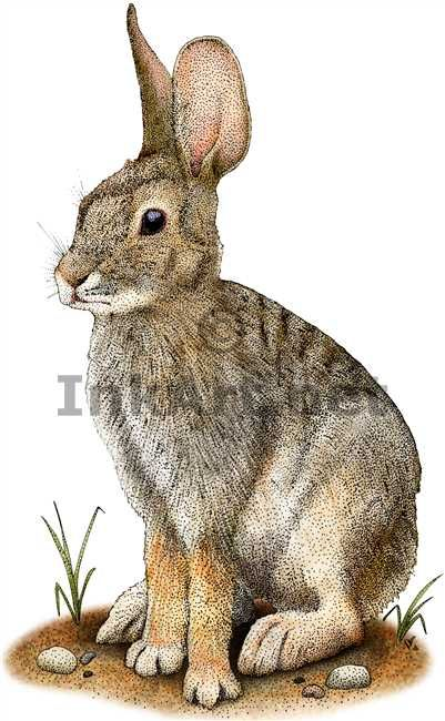 Full color illustration of a Desert Cottontail (Sylvilagus audubonii)