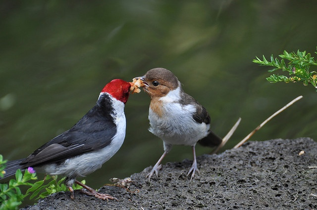 The Yellow-billed Cardinal is a bird species in the tanager family. It occurs in Brazil, Paraguay, Bolivia and northern Argentina and was introduced on the Big Island of Hawaii. Here, a male-female pair shares a piece of bread at Punaluu Bake Shop on See THESE beautiful photos of exotic Cardinals & more. Check THIS out & the latest Videos, Tips & Trends in Photography @ http://www.photopinns.com