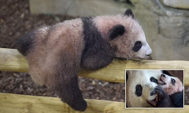 France's first panda cub makes debut appearance to rapturous crowds