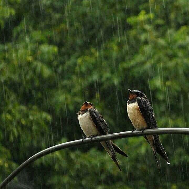 Pin di Pamela Conci su Animali | Animali, Pioggia, Rondini
