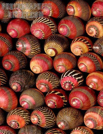 Shells of Neritina communis (zigzag nerite)