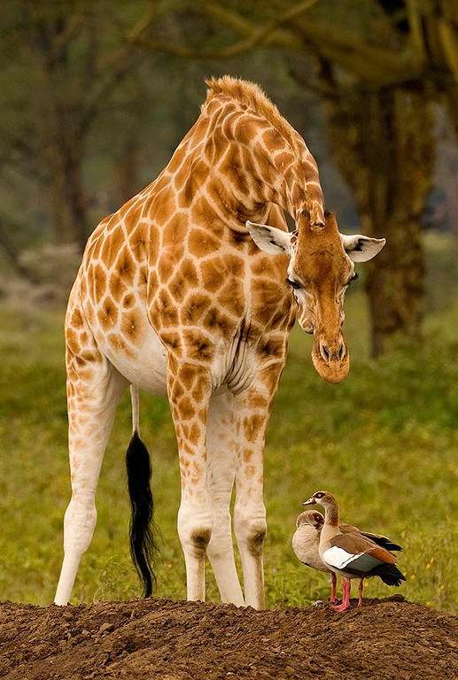 ~~Gerald ~ Giraffe and duck friends by Graeme Guy~~