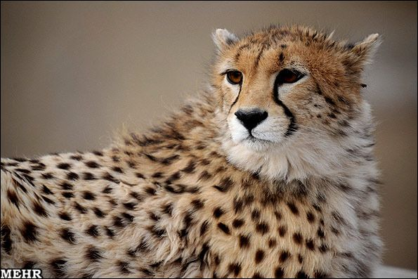 The Asiatic cheetah, also known as the Iranian cheetah, is a critically endangered cheetah subspecies surviving today only in Iran. The Asiatic cheetah lives mainly in Iran's vast central desert in fragmented pieces of remaining suitable habitat.