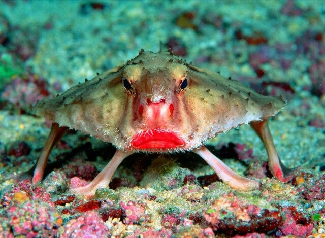 Red lip batfish