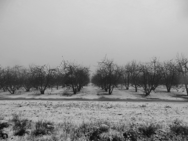 Cherry orchards in winter - Klondyke farm, Matroosberg, Ceres, South Africa