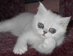 Exotic shorthair cat breeders in michigan
