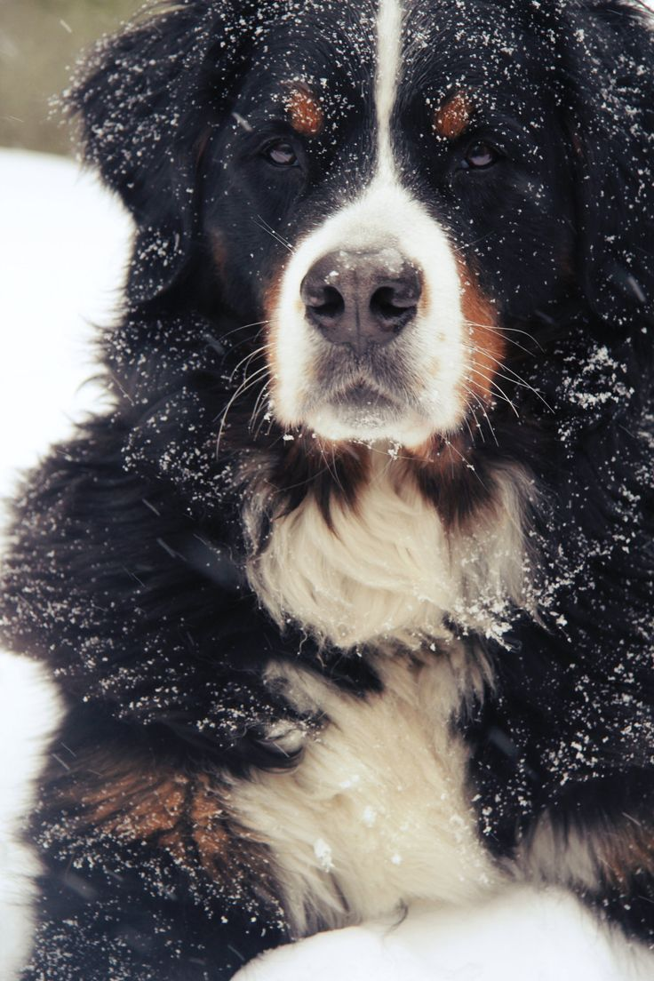 Bernese Mountain Dog. Ok, so I'm a little obsessed. But they are just so beautiful.
