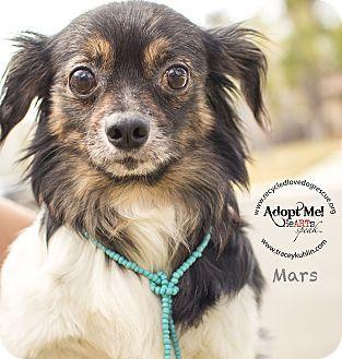 Inland Empire, CA - Pomeranian/Chihuahua Mix. Meet MARS, a dog for adoption.…