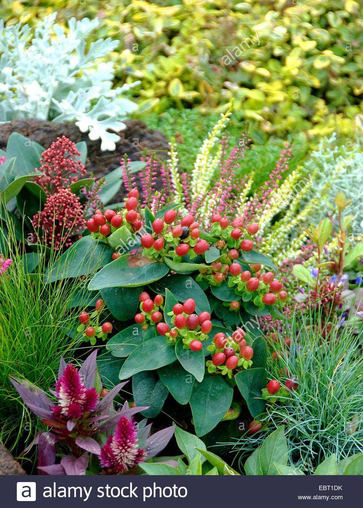 herbstbepflanzung-johanniskraut-hypericum-x-inodorum-magical-red-star-EBT1DK.jpg (992×1390)