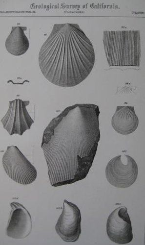 "Pl.33 Paleontology Vol. II (Cretaceous). A detailed lithographic print of fossilized shells by M. Gabb from his book ""Geological Survey of California"". This book was Published by Authority of the Legislature of California by Bowen and Co. 1864 & 1869. First Editions. Two Volumes. Vol. 1, [xx] 243 pp. Vol. 2, [xvi], 299 pp. The book featured A total of 68 engraved plates of fossils with printed tissue guards. Carboniferous and Jurassic Fossils. Triassic and Cretaceous Fossils. Overall this..."