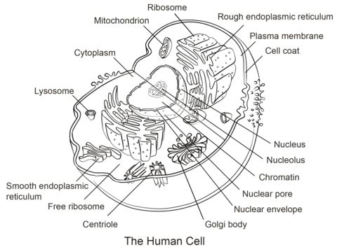 Human Cell coloring page from Anatomy category. Select from 21297 printable crafts of cartoons, nature, animals, Bible and many more.