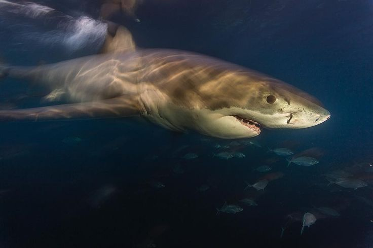 """15.3k Likes, 76 Comments - Brian Skerry (@brianskerry) on Instagram: """"Happy Shark Awareness Day!  Photo by @BrianSkerry.  Close-up view of a Great White Shark in the…"""""""