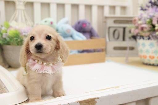 Dachshund Puppy For Sale In San Jose Ca Adn 63989 On Puppyfinder