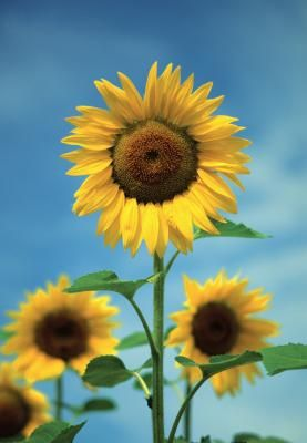 Sunflowers (Helianthus spp.) have a single taproot and smaller, hairy secondary roots. Sunflower roots usually grow 1 to 3 feet deep, and United States Department of Agriculture soil scientists  have ...
