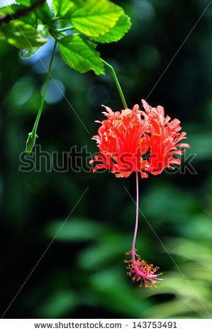 Hibiscus Schizopetalus, Coral Hibiscus, Fringed Rosemallow ...