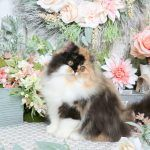 Daydream - Click Here - Ultra Rare Persian Kittens For Sale - (660) 292-2222 - Located in Northern Missouri (Shipping Available)Ultra Rare Persian Kittens For Sale – (660) 292-2222 – Located in Northern Missouri (Shipping  Available)