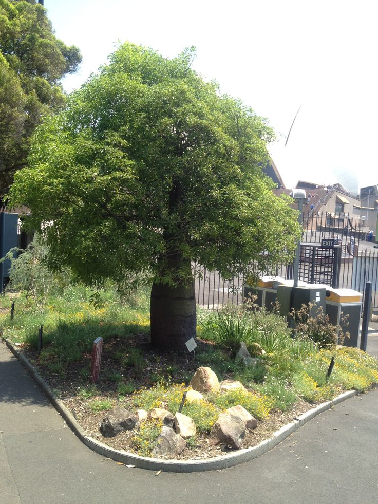Queensland Bottle Tree (Brachychiton rupestris), near the Sydney Opera House entrance. Garden bed 130c.