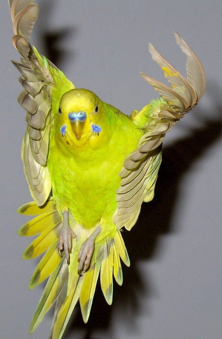 Budgie flying by ~greencheek on deviantART