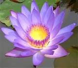 Pretty Lotus Flower - Bing images