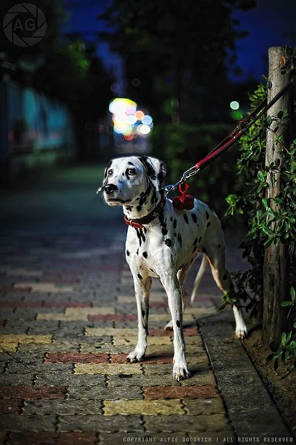 Waiting for the other 100 dalmatians