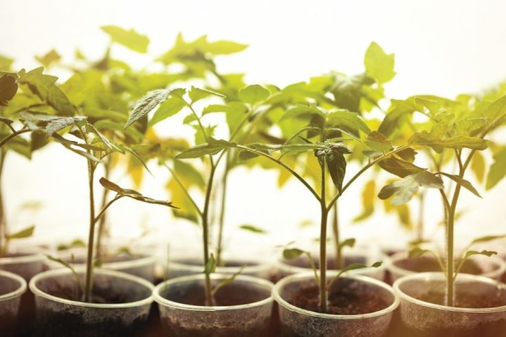 Building a strong foundation for a plant's healthy growing cycle is shaped during its cloning/seedling and early vegetative stage. The most important influence during this time is lighting. Eric Hopper offers his insight on the best type of lighting and duration during this very delicate time in a plant's life.
