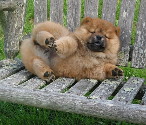 CHOW CHOW. Future dog. Not optional. I WANT ONE!!!