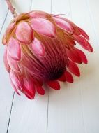 protea flower on white wooden boards