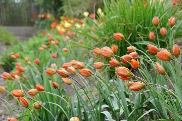 tulipa turkestania - Sök på Google