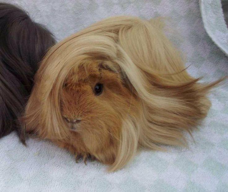 Peruvian guinea pig breed