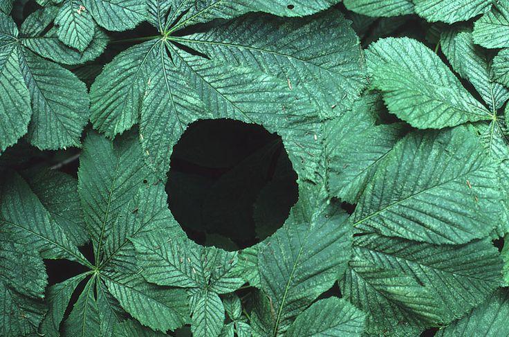 Andy Goldsworthy Agujero entre hojas de castaño de indias con tallos de hoja movidos por el viento