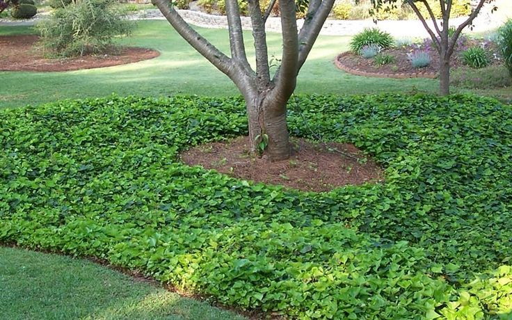 English ivy is a good ground cover underneath trees. English ivy grows best in shade; and some types of grass will not grow under the shade of a tree. If the ivy grows up the trunk of the tree, shear it back.