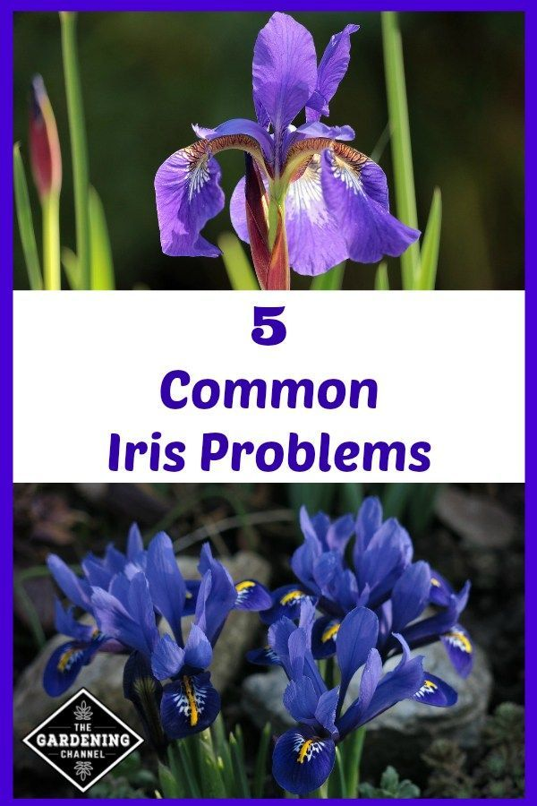 Common Iris Problems Flower Garden Care Iris Flowers Flower Garden